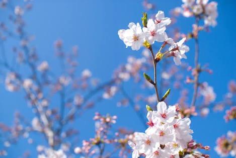 生徒の会話から。「千本桜って、マジ鬼なんですけど」